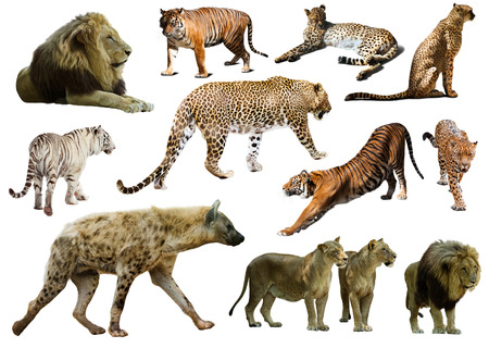 hienas: Conjunto de hienas, leopardos y otros Feliformia. Aislados en blanco Foto de archivo
