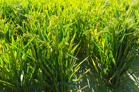Rice grows in water at field  in sunny day photo
