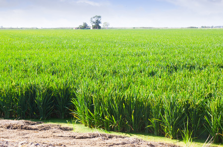 Green rice fields at Ebro Delta in summer. Spain photo