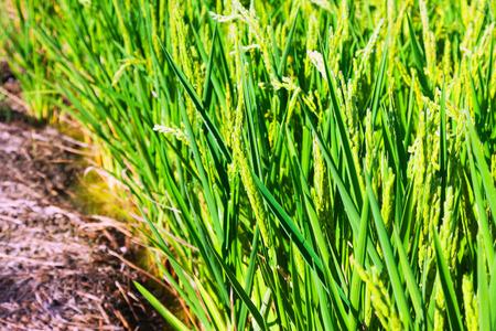 ebro: Closeup colpo di Campi di riso in Delta dell'Ebro Archivio Fotografico