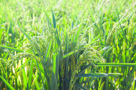 Closeup shot of green ears of rice at field in sunny day photo