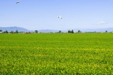 ebro: Campi di riso al Delta dell'Ebro. Spagna