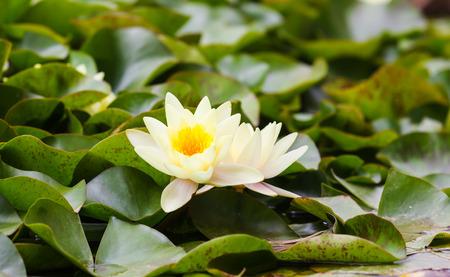 nymphaeaceae: Wite Nymphaeaceae, growing in the quiet waters of lake