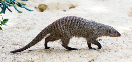 undomestic: Banded mongoose (Mungos mungo) on the ground