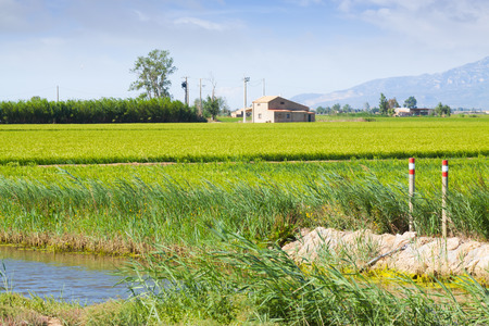 Typical rural landscape with rice fields at Ebro Delta in summer. Spain photo
