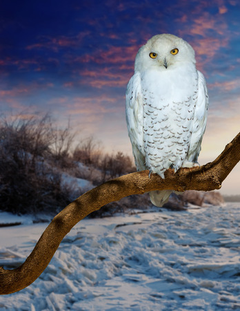 wildness: Sitting snowy owl  at  wildness in sunrise time Stock Photo