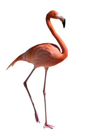 pink flamingo. Isolated over white Banque d'images