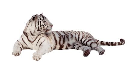 catamountain: lying white tiger  over white background  Stock Photo