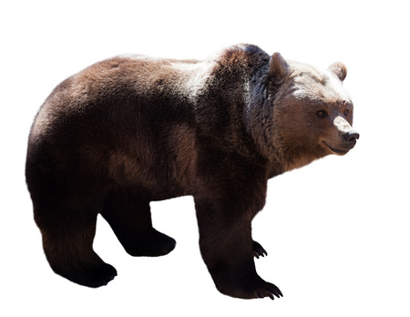 Standing adult  bear over white