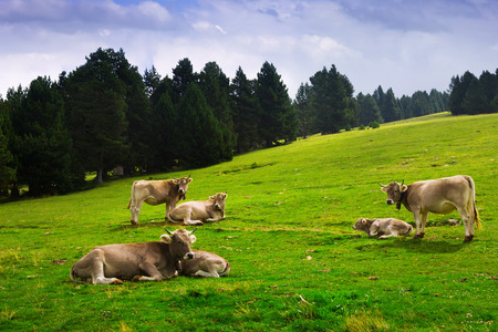 Summer view of  meadow with cows. Pyrenees, Catalonia photo