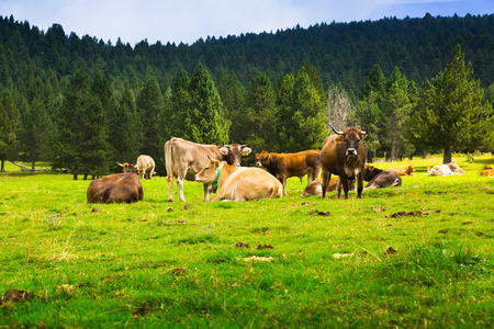 Few cows at meadow in summer day. Pyrenees, Catalonia photo