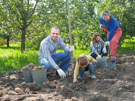 Happy family harvesting potatoes in vegetables garden photo