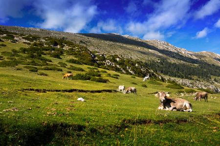 meadow  with cows in summer day. Pyrenees, Catalonia photo