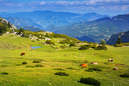 Mountain meadow  with cows in summer. Pyrenees photo