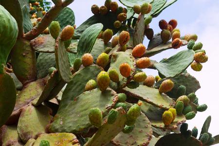 opuntia: opuntia ficus-indica (prickly pear) plant