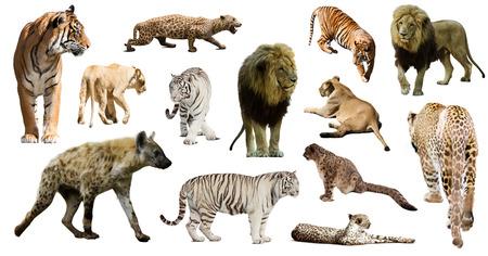hienas: Conjunto de hienas, leopardos y otros Feliformia sobre fondo blanco