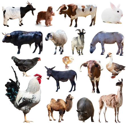 billy goat: Set of rooster and other farm animals. Isolated over white background
