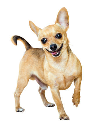 moscovian: Smiling Mini Toy Terrier. Isolated over white