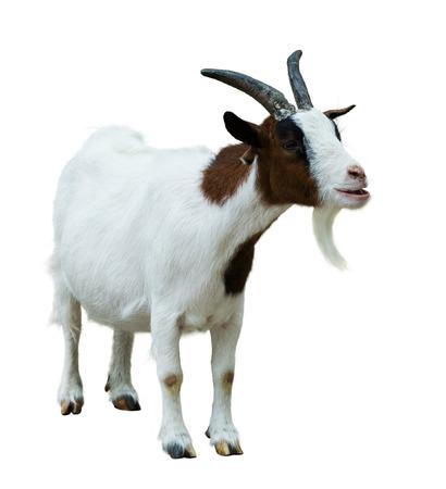 furry animals: Cabra de la granja. Aislado en el fondo blanco Foto de archivo