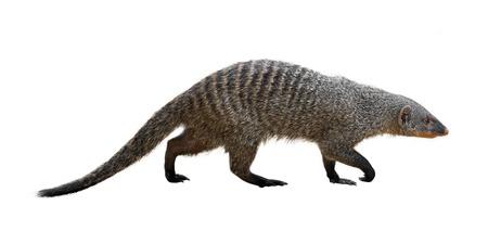 Banded mongoose (Mungos mungo). Isolated over white background