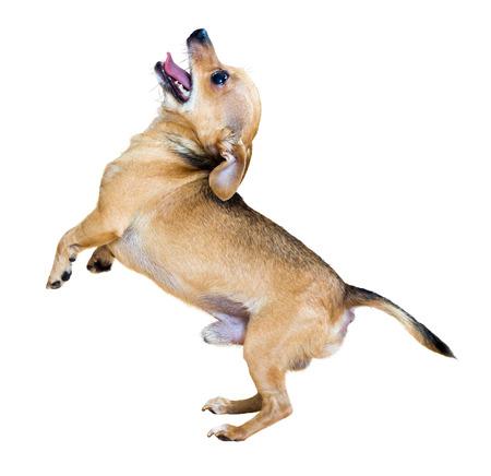 Barking Russkiy Toy Terrier on white background photo