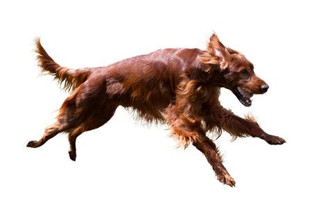 perro corriendo: Correr Setter irlandés, aislado en fondo blanco