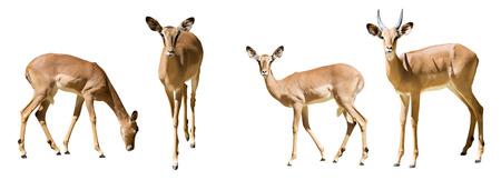 Set of impalas (Aepyceros melampus).  Isolated on white photo