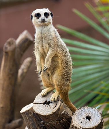 suricatta: suricate (Suricata suricatta) on tree Stock Photo