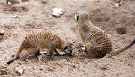 undomestic: Two meerkats   togehter (Suricata suricatta) on ground