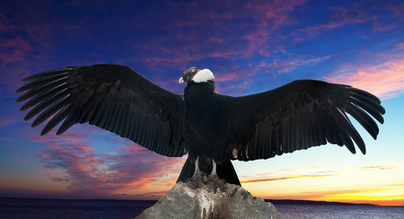 wing span: Andean condor on rock  against sunset sky