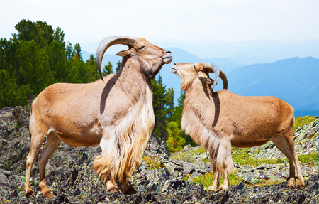 africa kiss: barbary sheeps in wildness area