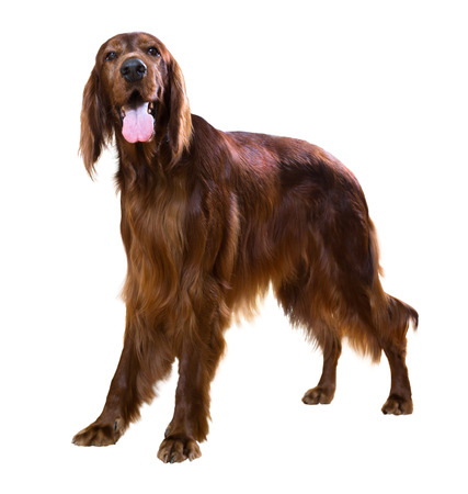 male red irish Setter, isolated on white photo