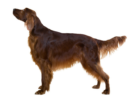 Side view of standing male red irish Setter, isolated on white