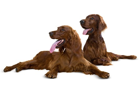Couple of Irish Setters Isolated over white background photo