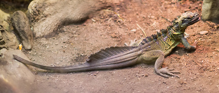 sailfin: Philippine Sailfin Lizard at sand area