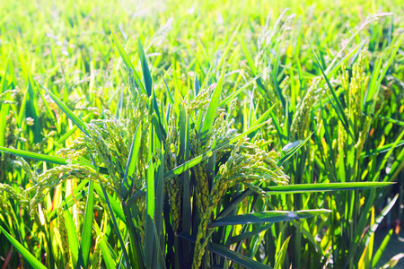Green rice fields in summer day photo