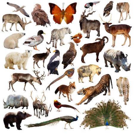 animales salvajes: Conjunto de pavo real de la India y otros animales asi�ticos. Aislados en blanco