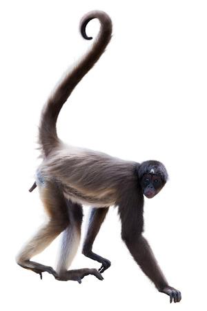 Long-haired spider monkey. Isolated on white background Stock Photo