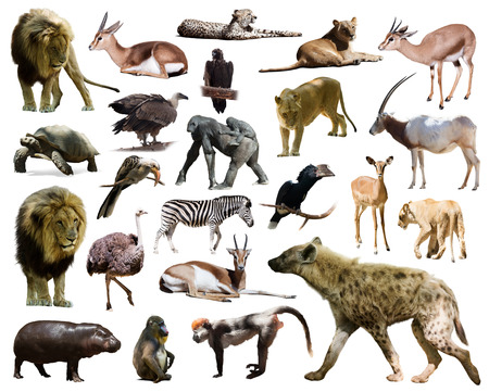 hyena and other African animals. Isolated on white background photo
