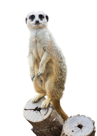 Meerkat (Suricata suricatta). Isolated  over white background Stock Photo