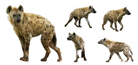 hienas: Conjunto de hienas manchadas (Crocuta Crocuta). Aislado sobre fondo blanco Foto de archivo
