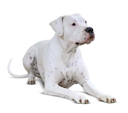 plum pudding: lying  Dogo Argentino on white background