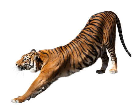 tiger isolated: tiger, isolated  over white background