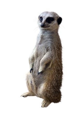 suricata suricatta: Meerkat (Suricata suricatta). Isolated on white background