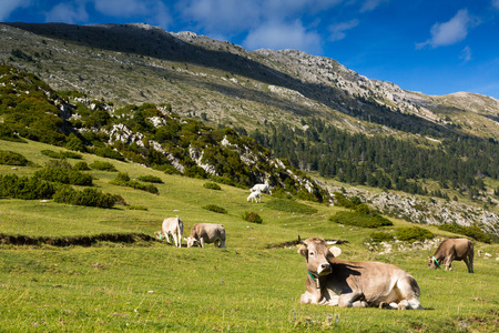Few cows in mountain meadow in summer. Pyrenees photo