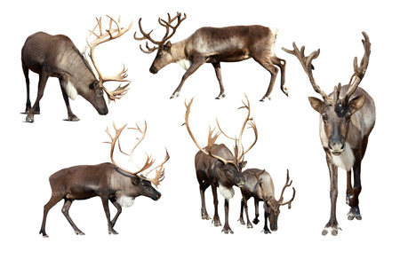 Set of few reindeer (Rangifer tarandus). Isolated over white background