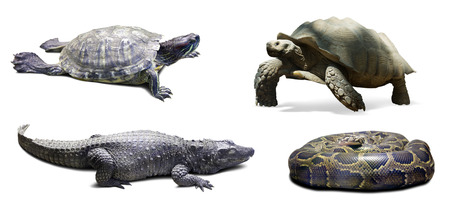 reptilian: Set of reptilian. Isolated on white background