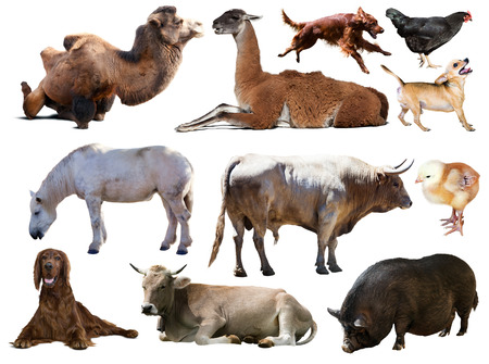 billy goat: Set of bull and other farm animals. Isolated over white background