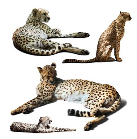 undomestic: Set of Cheetah. Isolated over white background Stock Photo