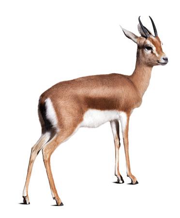 gazelle: Dorcas gazelle (Gazella dorcas).  Isolated over white background